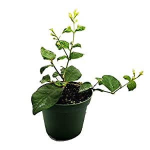 "Jasmine Maid of Orleans Plant - 4"" Pot"