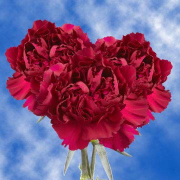 GlobalRose 200 Fresh Cut Purple Carnations - Fresh Flowers Wholesale Express Delivery by GlobalRose (Image #4)