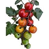 限定品 とても甘い 砂糖ミニトマト 種 2粒 新品種