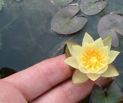 (Plant Pro Nymphaea Helvola Dwarf Yellow Water Lily hardyTuber Rhizom A009)