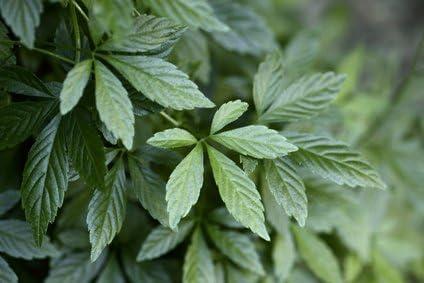 Jiaogulan Pflanze der Unsterblichkeit 20 Samen