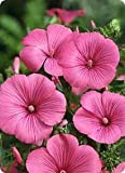 Lavatera trimestris Hot Lips 1,000 seeds