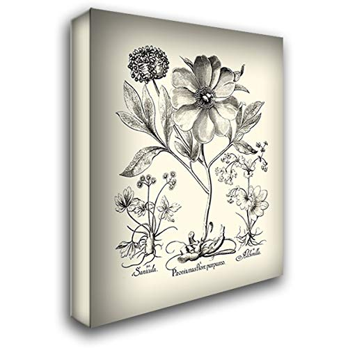 - Black and White Besler Peony II 36x46 Extra Large Gallery Wrapped Stretched Canvas Art by Besler, Basilius