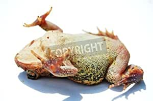 Toad Playing Dead on White Background (4565439), Póster, 80 x 50 cm