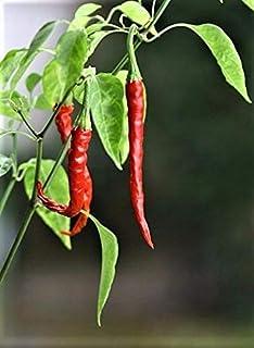 PLAT FIRM SEMI DI GERMINAZIONE: 10pcs Thai Pepper Samen Premium-Bio-non-OGM Frisch Ernte 2017