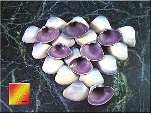 KARPP Set of 40 Purple Baby Clam Shells Seashells (1/2-3/4