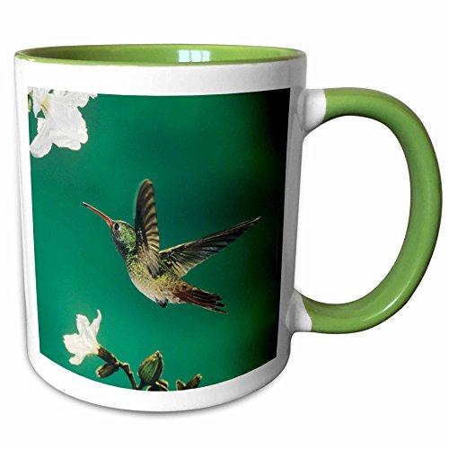3dRose Danita Delimont - Birds - Buff-bellied Hummingbird Mexican Olive Tree Texas - NA02 RNU0365 - Rolf Nussbaumer - 11oz Two-Tone Green Mug (Texas Olive Tree)