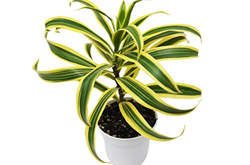 Dracaena 'Song of India' - Live Plant - FREE Care Guide - 4'' Pot - HARD TO KILL by House Plant Shop