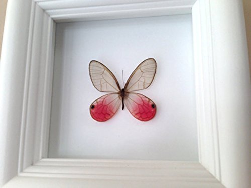real-butterfly-taxidermy-art-insect-art-bug-art-bugs-insects-taxidermy-entomologist-butterflies-butt