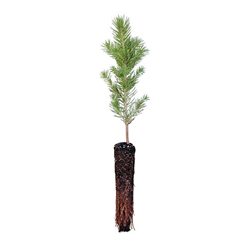 State Colorado Tree Live Plant Blue Spruce Small Natural Barrier Outdoor Garden
