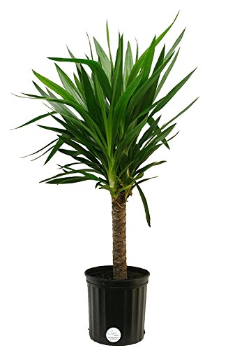 Costa Farms Yucca Cane Live Indoor Floor Plant in 8.75-Inch Grower Pot