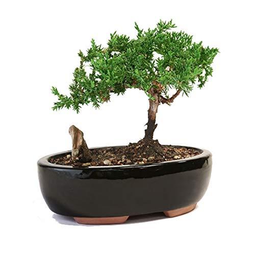 Mountains Juniper Bonsai Live Tree Plant Zen Best Gift - USA_Mall