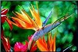Seeds & Things Bird of Paradise (Very Rare) - Strelitzia reginae - 10 Seeds