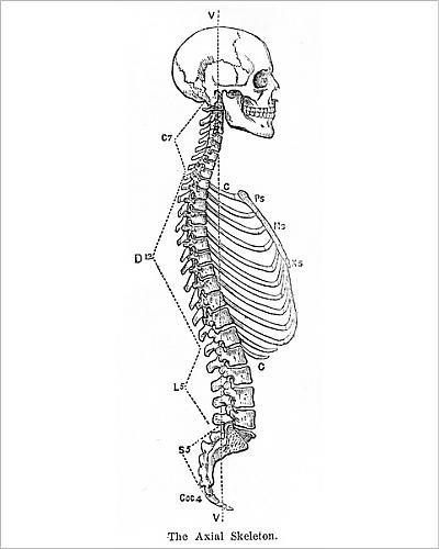 Amazon Media Storehouse 10x8 Print Of The Axial Skeleton