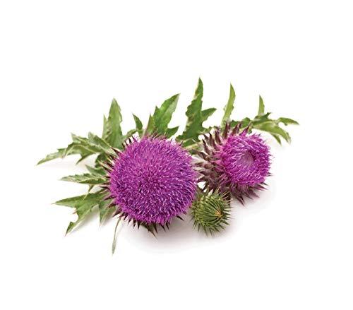 David's Garden Seeds Herb Milk Thistle SL (Purple) 25 Non-GMO, Heirloom Seeds (Milk Thistle Seeds)