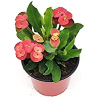 Cactus Corona de Cristo Euphorbia Milii Flor de Color Rojo Corona de Espinas Planta Natural