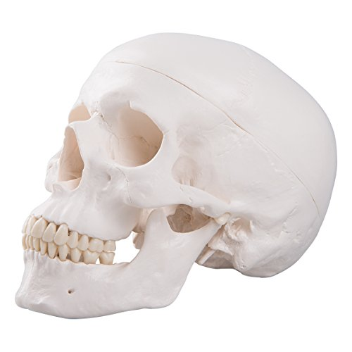 3B Scientific Menschliche Anatomie - A20 Klassik-Schädel mit ...