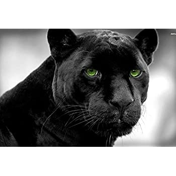 Amazon.com: Black Panther (Jaguar, Big Cat) Wild Animal ...