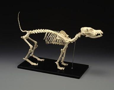 Canine Skeleton, Standard Size: Animal Anatomical Models: Amazon.com ...
