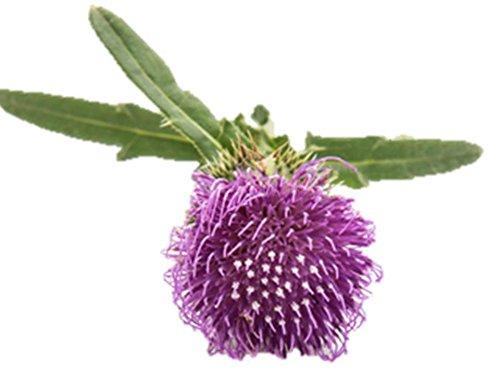 Burdock Seeds Grow Edible Arctium Lappa Herb Homeopathy 10 seed