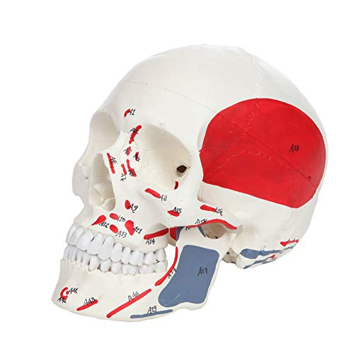 BIUYYY 3-Part Painted and Numbered Human Skull Model Life Size Plastic Skull Show The Muscle Origin and Insertion Points Educational Teaching Tools
