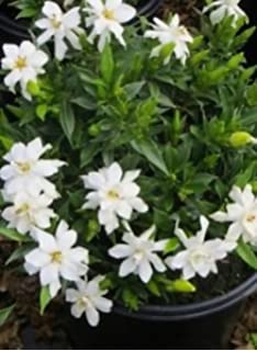Amazon eupatorium baby joelive 3 year old plant butterfly frost proof gardenia plant smells great fragrant white flowers size 3 gallon mightylinksfo
