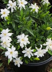 Live Gardenia Plant Frost Proof Hedge Mass Planting White Flowers Pretty  Flower   Size: 1 Gallon