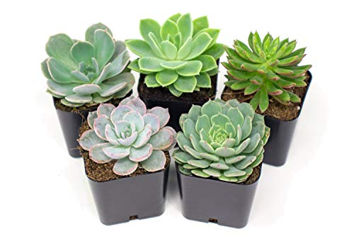 Succulent Plants | 5 Echeveria Succulents | Rooted in Planter Pots with Soil | Real Live Indoor Plants | Gifts or Room Decor by Plants for Pets ()