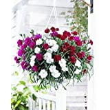 BloomGreen Co. Flower Seeds: Carnations That Express Love Seeds Winter Flowers Outdoor Plant Decor (2 Packets) Garden Plant Seeds