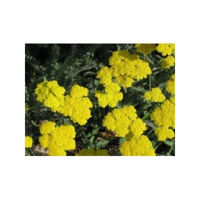 250 GOLD Golden Yellow YARROW Achillea Millefolium Flower Seeds : Flowering Plants : Garden & Outdoor