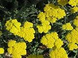 250 GOLD Golden Yellow YARROW Achillea Millefolium Flower Seeds