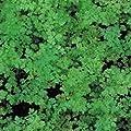 IDEA HIGH Herb Seeds - Chervil Curled - 2500 Seeds