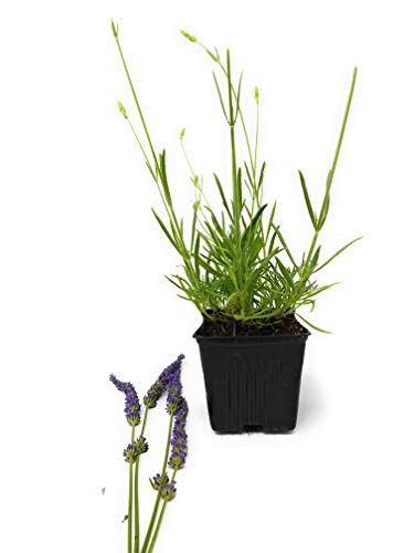 """Findlavender - Lavender Plant Phenomenal - 4"""" Size Pots - Zones 5-10 - Bee Friendly - Attract Butterfly - Evergreen Plant - 4 Live Plants"""