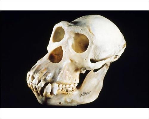 Photographic Print of KEL-1199 Chimpanzee Skull - male