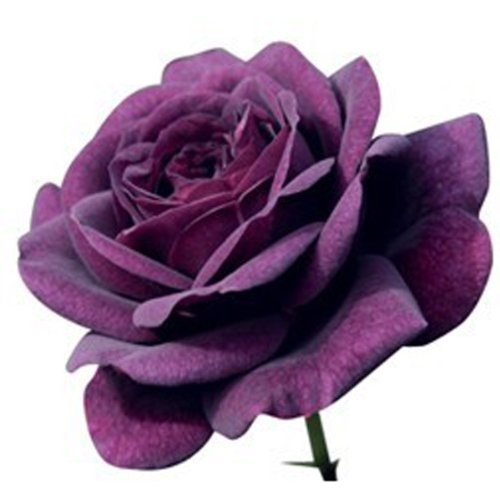 RoseBlue byRisa 100Pcs Purple Rose Seeds Garden Flower Seeds Home Rare Plant (Anemone Salad)