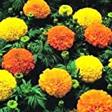 250 AFRICAN MARIGOLD CRACKERJACK MIX Tagetes Erecta Flower Seeds
