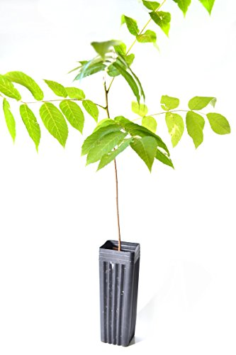 TreesAgain Potted Black Walnut - Juglans nigra - 18-24+ inches (See State Restrictions)