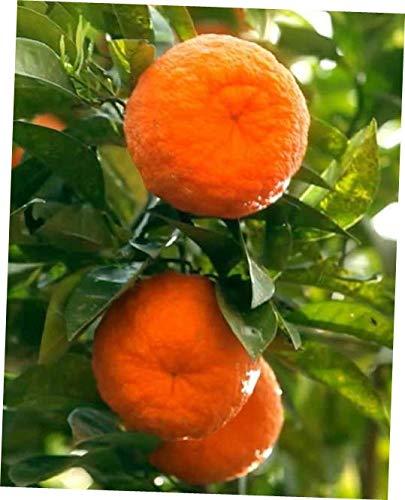 plantyours Tangerine Fruit Tree Real Live Plant Citrus 3