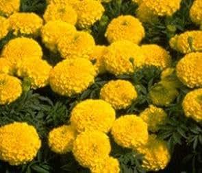 Marigold Lady DT Gold 250 seeds