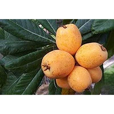 AchmadAnam - Live Plant - Loquat Big Jim - Grafted Tree - 2 to 3 Feet Tall - Ship in 3 Gal Pot. E9 : Garden & Outdoor