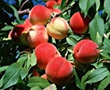 SD0531 Peach Seeds, Autumn Red Peach Fruit Seeds, Peach Tree Seed (10 Seeds)