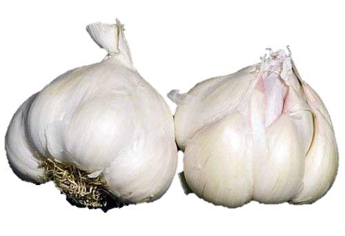 (1+ Pounds Early Italian Purple Garlic Fresh Bulbs (Allium Sativum var. Ophioscorodon))