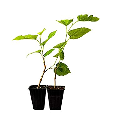 9GreenBox Dwarf Mulberry Tree - 2 Pack