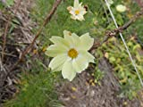 1 Pack of 30 Flower Seeds Xanthos Cosmos Seeds