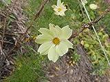 1 Pack of 30 Flower Seeds Xanthos Cosmos Seeds