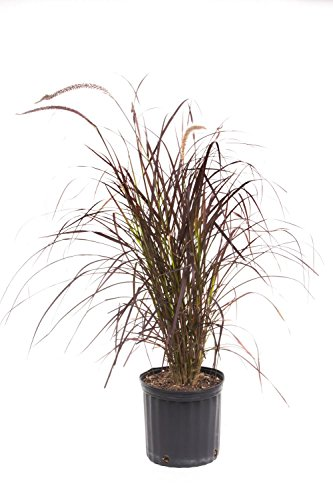AMERICAN PLANT EXCHANGE Purple Fountain Grass Live Plant, 3 Gallon, Indoor/Outdoor Air Purifier