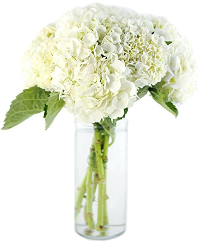 Bouquet of Fresh White Hydrangeas without Vase