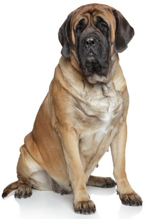 Mastiff ~ Dog Breed ~ Edible Image Cake / Cupcake Topper