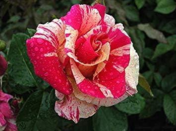 Shop Meeko TIERRA - Jardín de las Rosas a raíz desnuda - rosa inusual y rayas amarillas, fragantes Blooms, Repetir floweringplant: Amazon.es: Jardín