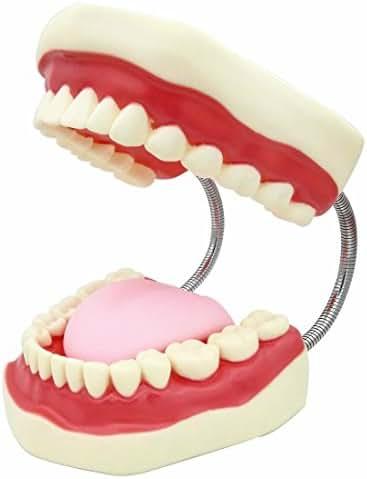 SMKF Large Anatomical Teeth Models - Dentist Teaching Oral Hygiene Model 8.66 5.9 5.5 inches